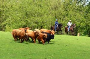 Destino zum ersten Mal bei der Rinderarbeit